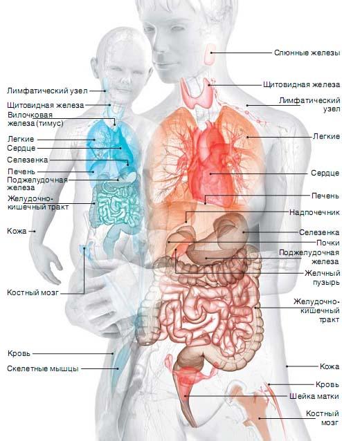 Трансплантат Фетальный фото