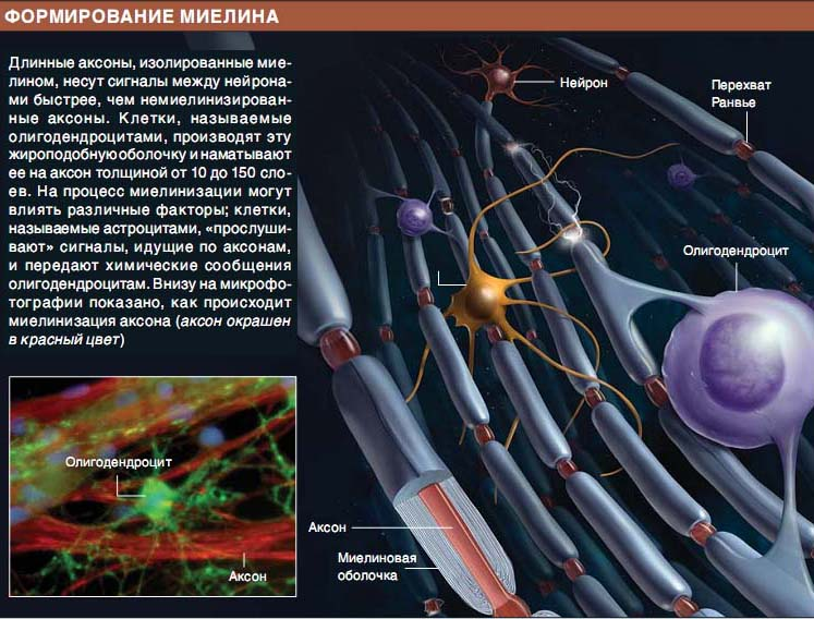 Олигодендроцит